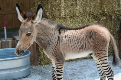 Animal story: Donkey who wanted to imitate of being a tiger!